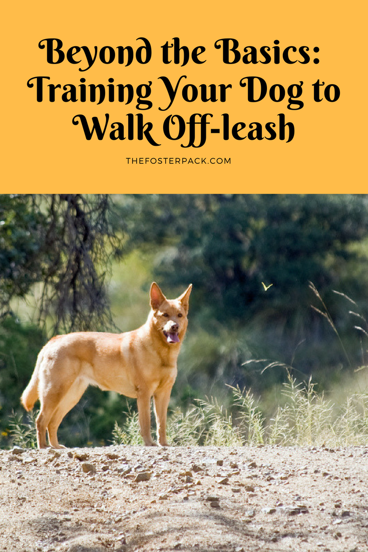 Training An Older Dog To Walk On A Leash